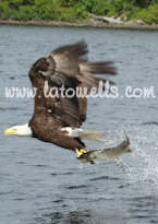 Eagle grabbing a fish from the lake
